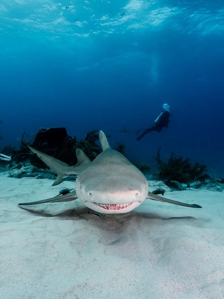 Tubarão limão em noronha