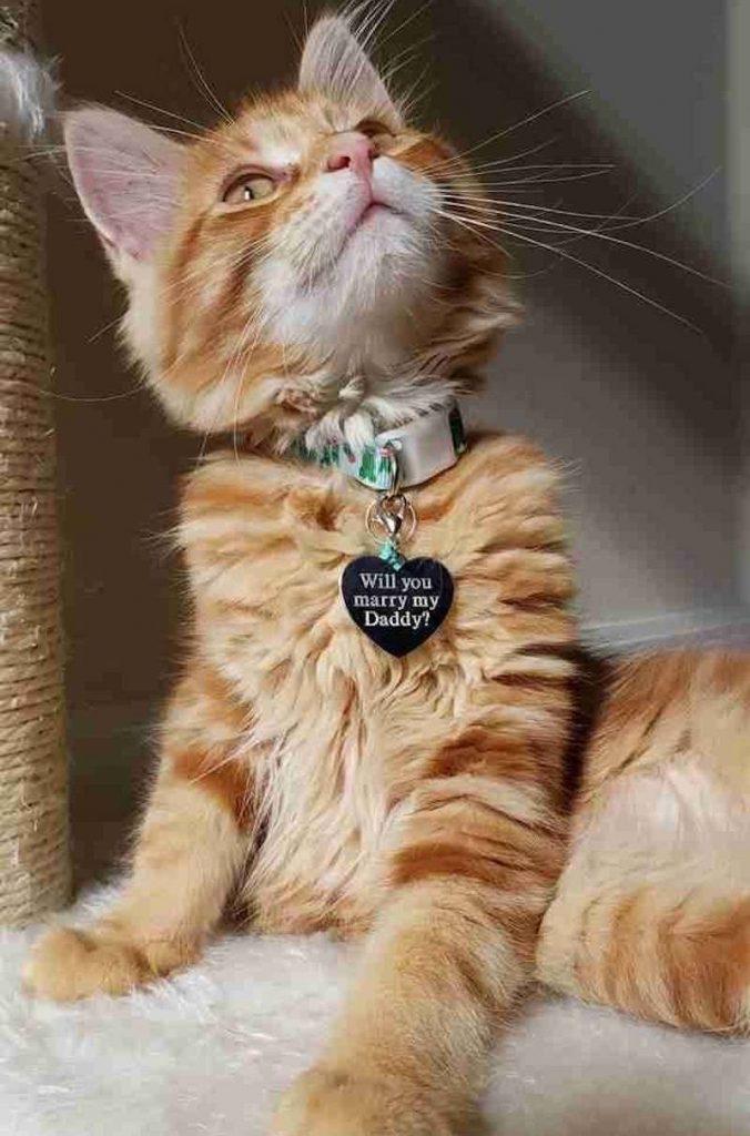 pedido de casamento na coleira do gato